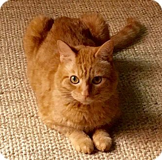 Domestic Shorthair Cat for adoption in Long Beach, New York - Nickles