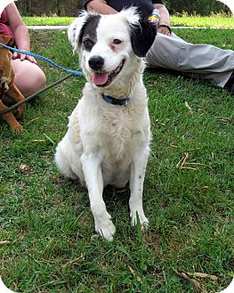 Springer Spaniel Mix Dog for adoption in Richburg, South Carolina - Prissy