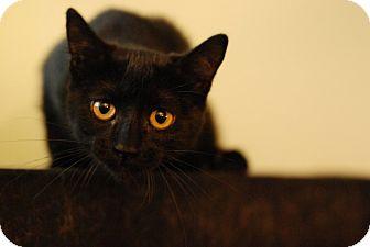 Domestic Shorthair Kitten for adoption in St. Louis, Missouri - Izzy
