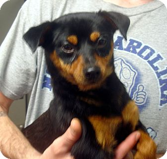 Miniature Pinscher/Pug Mix Dog for adoption in Greencastle, North Carolina - Lester