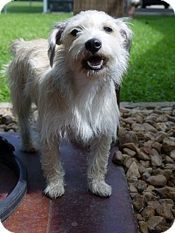 Cairn Terrier Mix Dog for adoption in Baton Rouge, Louisiana - Blondie