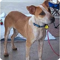 Adopt A Pet :: Dobby (adoption pending) - Phoenix, AZ