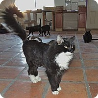 Domestic Mediumhair Cat for adoption in Scottsdale, Arizona - Zorro