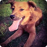 Adopt A Pet :: Shandy - Fort Valley, GA