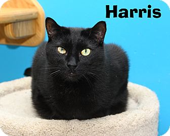 Domestic Shorthair Cat for adoption in Oakland, New Jersey - Harris