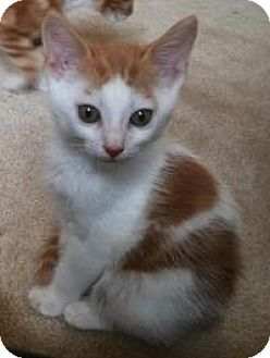 Domestic Mediumhair Kitten for adoption in Smyrna, Georgia - Memphis