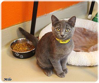 Domestic Shorthair Cat for adoption in Welland, Ontario - Milo