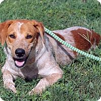 Redtick Coonhound Mix Puppy for adoption in Atlanta, Georgia - Patrick