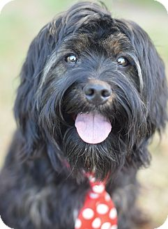 Tibetan Terrier Mix Dog for adoption in Denver, Colorado - Trevor