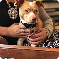 Adopt A Pet :: Little Bit - Toledo, OH