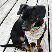 Adopt A Pet :: Smalls-Adoption pending - Bridgeton, MO