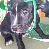 Adopt A Pet :: Roxie - Detroit, MI