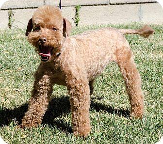 Adopt A Pet :: Coco (Adoption Pending)  - Renton, WA