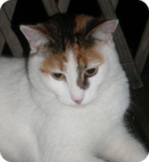 Calico Cat for adoption in N. Billerica, Massachusetts - Ella