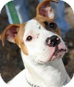 Terrier (Unknown Type, Medium)/Boxer Mix Dog for adoption in Tinton Falls, New Jersey - Carly