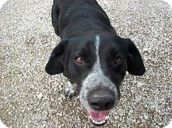 Basset Hound/Blue Heeler Mix Dog for adoption in West Hartford, Connecticut - Bubba