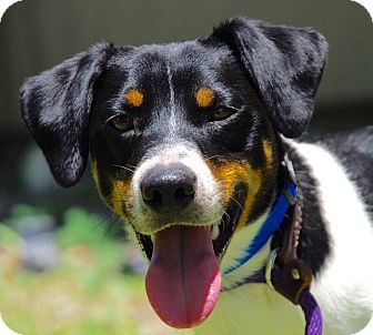 Beagle/Jack Russell Terrier Mix Dog for adoption in Coeburn, Virginia - Brusco