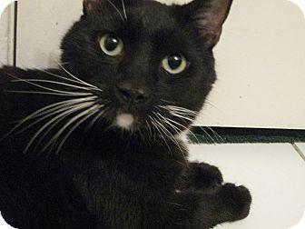 Domestic Shorthair Cat for adoption in Brea, California - MITCH