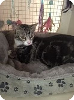 Domestic Shorthair Cat for adoption in Bridgeton, Missouri - Mittens