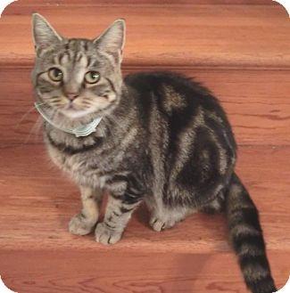 Domestic Shorthair Cat for adoption in Dowagiac, Michigan - Lovey