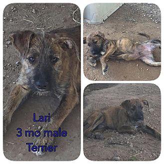 Terrier (Unknown Type, Medium) Mix Puppy for adoption in DeForest, Wisconsin - Lari