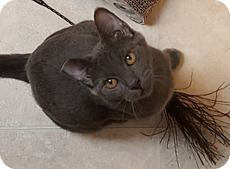 Russian Blue Cat for adoption in Pasadena, California - Lucy-Goosey