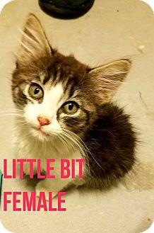 Domestic Shorthair Kitten for adoption in Glendale, Arizona - LITTLE BIT