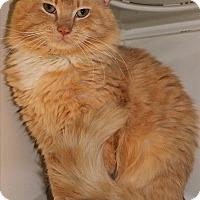 Adopt A Pet :: Garfield (chunk) - Duluth, MN