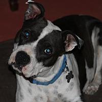 Adopt A Pet :: ZIVA - Chandler, AZ