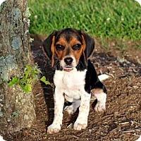 Adopt A Pet :: PUPPY LUCILLE - Sussex, NJ