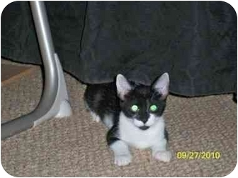 Domestic Shorthair Cat for adoption in Port Republic, Maryland - Tizzy