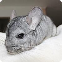 Adopt A Pet :: Atlas - Virginia Beach, VA