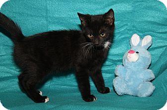 Domestic Shorthair Kitten for adoption in Marietta, Ohio - Aaron (Neutered)