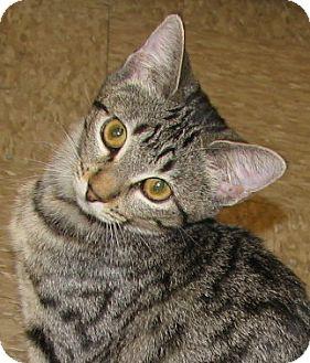 Domestic Shorthair Kitten for adoption in Tulsa, Oklahoma - Karen