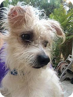 Terrier (Unknown Type, Small) Mix Dog for adoption in Encino, California - Mace
