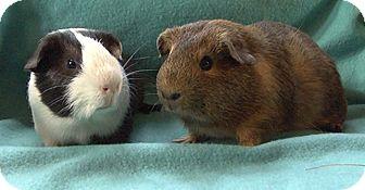 Guinea Pig for adoption in Steger, Illinois - Wurmple