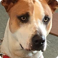 Adopt A Pet :: Abbi - Indian Trail, NC