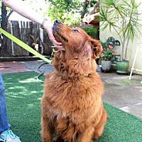 Adopt A Pet :: Copper - San Diego, CA