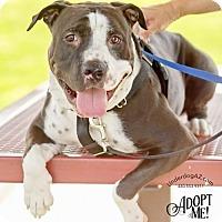 Adopt A Pet :: ALFIE - Chandler, AZ