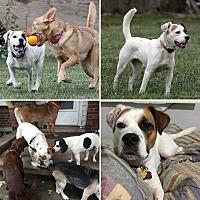 Terrier (Unknown Type, Medium) Mix Dog for adoption in Redford, Michigan - Vegas