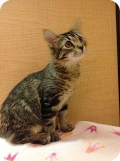 Domestic Shorthair Kitten for adoption in Modesto, California - Lucy