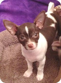 Chihuahua Puppy for adoption in Orlando, Florida - Chispy#1M