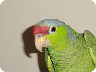"""Amazon for adoption in Vancouver, Washington - """"L"""" Is a 11 Year Old Lilac Cro"""
