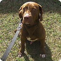 Adopt A Pet :: CJ - Jacksonville, FL