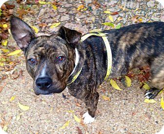 Bull Terrier/Plott Hound Mix Dog for adoption in Irving, Texas - Bunny