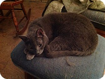 Domestic Shorthair Cat for adoption in Rochester, New York - Smokey