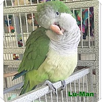 Parakeet - Quaker for adoption in Tampa, Florida - Lu-Man