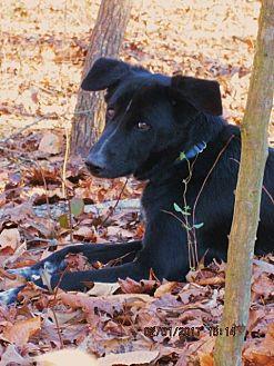 Border Collie Dog for adoption in Rutherfordton, North Carolina - ARAMIS