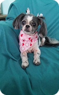 Shih Tzu Dog for adoption in Ruskin, Florida - Maggie