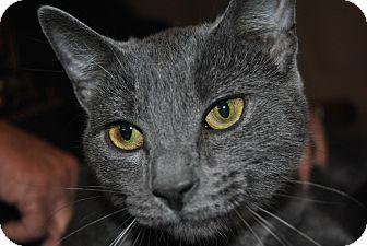 Domestic Shorthair Cat for adoption in Sanford, Maine - Dash